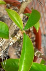 Pereschia foglie spine
