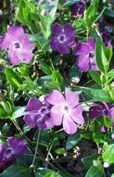 Pervinca fiori tubolari