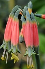fiori tubolari