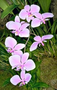 Phalaenopsis fiori