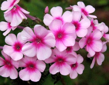 Polemoniaceae;