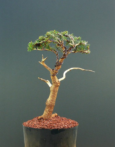 bonsai abies
