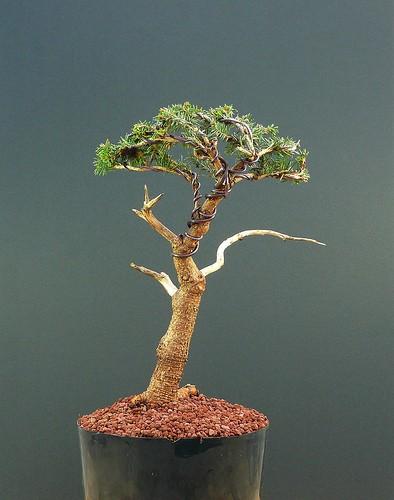 bonsai abies