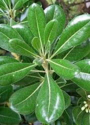 foglie allungate o lobate