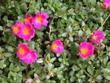 Portulaca, Portuilacaceae
