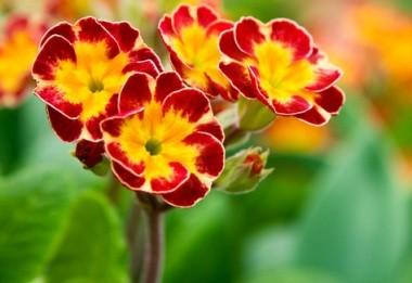 Primula polyantha