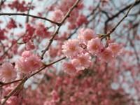 Pruno fiori doppi