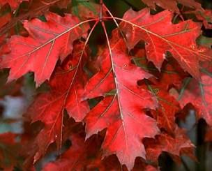 Quercia rossa foglie ellittiche