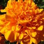 Rosa d'India