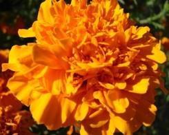 Rosa d'India fiori sfrangiati