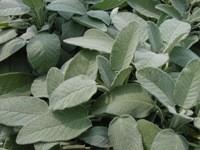 Salvia foglie ovali