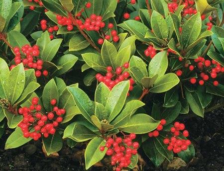 Schimmia,Rutaceae