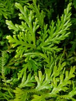 foglie squamiformi