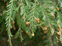 Sequoia foglie aghiformi