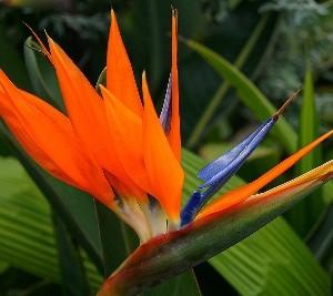 Strelitzia fiore