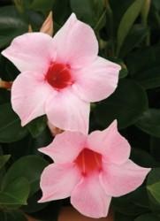 Sundevilla fiore a trombetta
