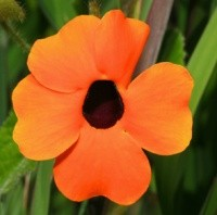 Thunbergia alata fiore arancio