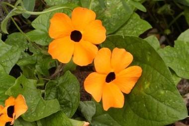 Acantaceae