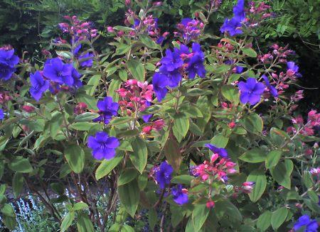 Tibouchina,Melastomataceae