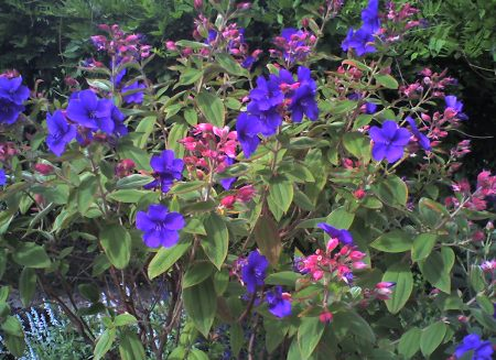 Tibouchina,Melastomataceae