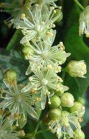 fiori profumati