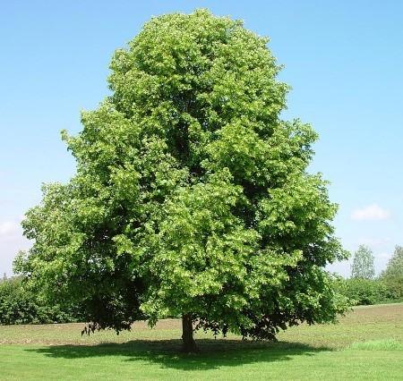 Il Tiglio Selvatico è Un Albero Dalla Crescita Spontanea, Appartenente Alla  Famiglia Delle Tiliaceae. Esso è Utilizzato Per Adornare Parchi... Continua