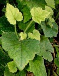 Tolmiea foglie margine seghettato