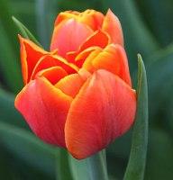 Tulipano fiori profumati