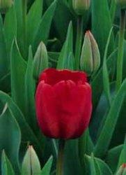 Tulipano foglie verde intenso