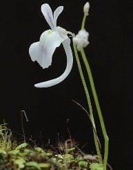 Utricularia fiori piccoli