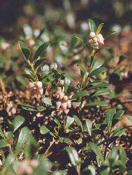 Uva Ursina fiori piccoli