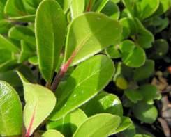 Uva Ursina foglie alternate