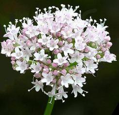 Valeriana Comune fiori ermafroditi