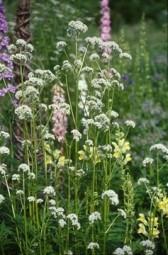Valeriana Comune foglie lanceolate