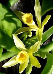 Vaniglia fiore forma trombetta