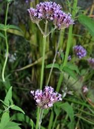Piante ornamentali informazioni immagini e nomi - Verbena pianta ...