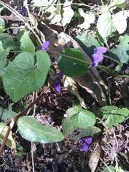 Viola Mammola foglie ovoidali
