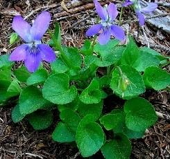 Viola foglie lanceolate