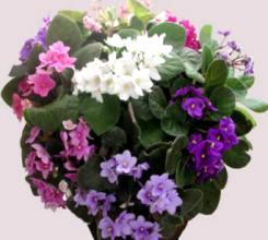Violetta africana fiore a 5 petali
