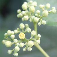 Vite Canadese fiori piccolissimi