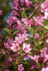 Weigelia fiori tubolari