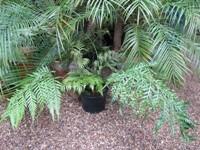 woodwardia pianta da vaso