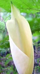 fiore a spata