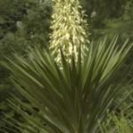 Yucca infiorescenze a pannocchia