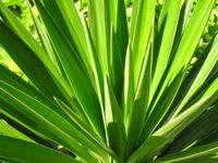 Yucca foglie appuntite