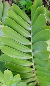 foglie pennate