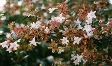Linneaceae
