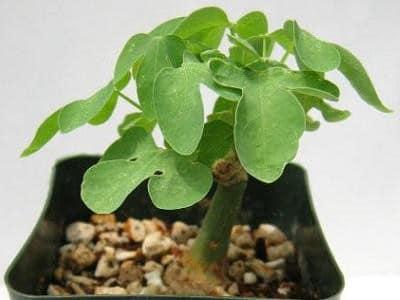 adenia pianta grassa