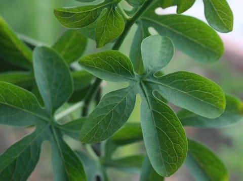 adenia fogliame pianta grassa