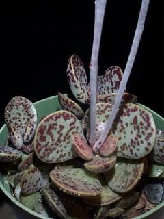 adromischus trugynus succulenta